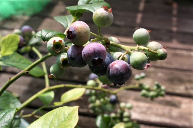 First Fruits of Blueberry