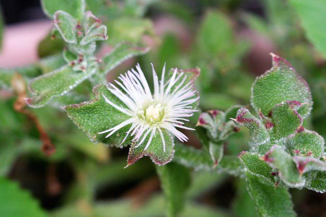Iceplant In Full Bloom