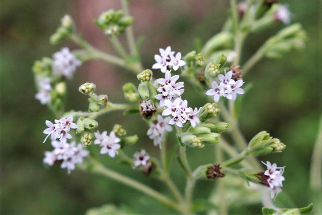 Stevia Flower