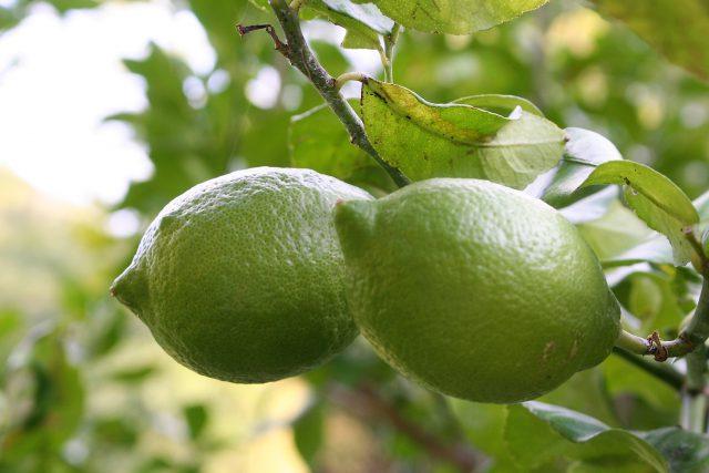 Young Lemon