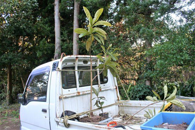 Replacing Loquat Trees