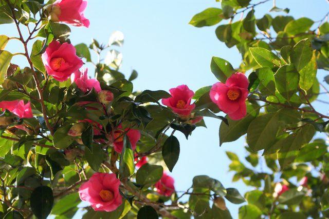 Canopy of Camellia