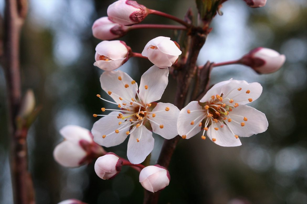 When Plum Trees Bloom…