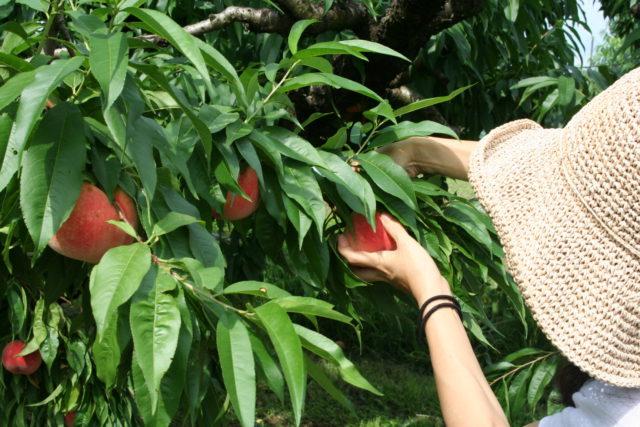 Peach Hunt Tour In Koshu, Day 1